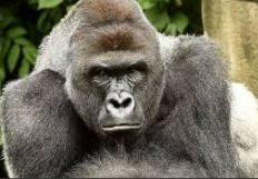 La femmina di gorilla è triste e malinconica