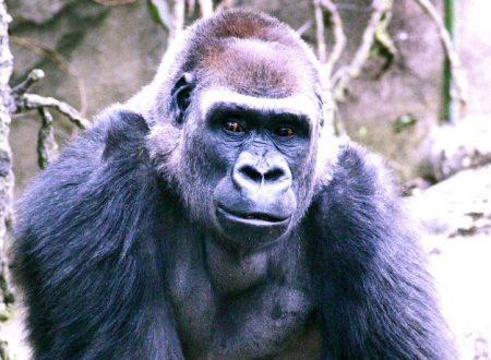 Catturato da un gorilla … che esperienza