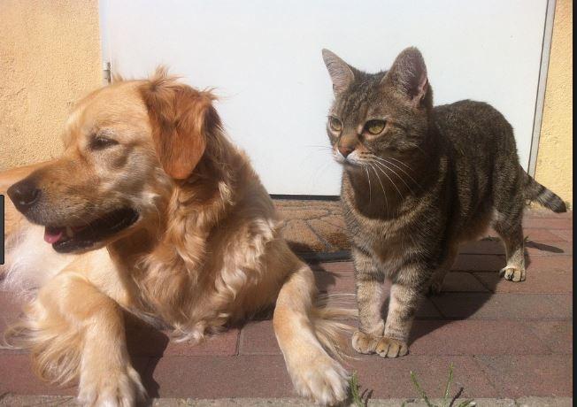 Un cane impegnato e un gatto istruito