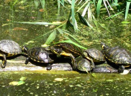 Gruppo di tartarughe in gita fuori porta