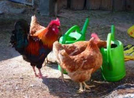 Barzellette su galli e galline – Raccolta